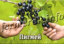 Сорт смородины Пигмей