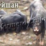 Свиньи породы Мейшан