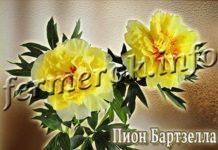 Цветы Пион Бартзелла