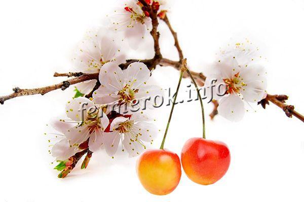 Цветы белые появляются рано, ягоды формируются на однолетних пагонах