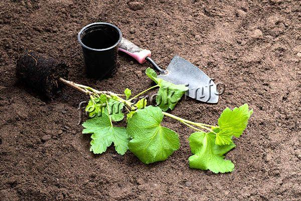 Весной посадка смородины Добрыня проводится только после того, как пройдет угроза возвратных морозов