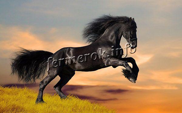 Вороные лошади имеют злой, своенравный характер