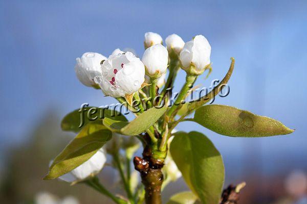 Бутоны среднего размера, белые, матовые, собраны в соцветия по 6-7 штук