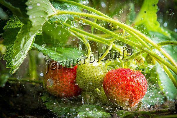 Если регулярно идут дожди, поливы можно прекратить на время