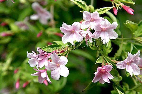 Фото Жасмина биса (Jasminum beesianum)