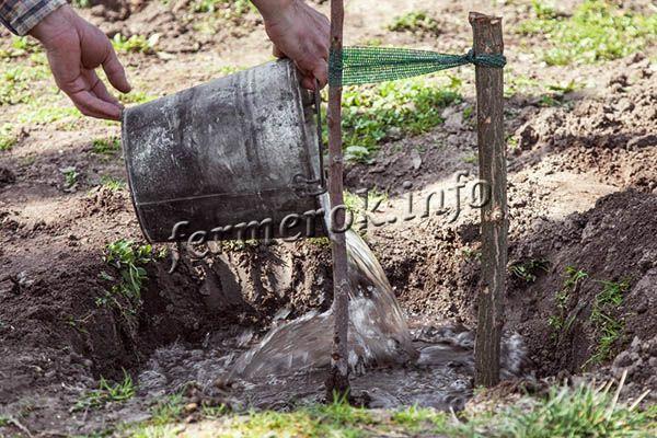 Когда яма полностью заполнена землей и саженец уже не кренится, можно привязать его к колышку и полить 2-3 ведрами воды