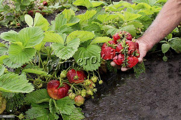 На каждой плодоножке клубники Сельва может созревать сразу много ягодок