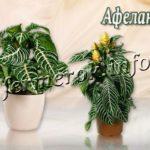 Цветок Афеландра