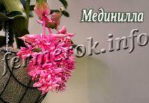 Цветок Мединилла