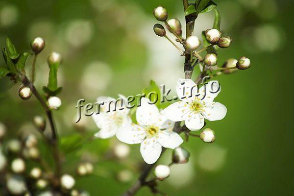 Цветы крупные, белого цвета, собраны в соцветия по 2-3 штучки