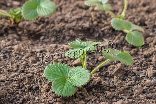 Так как клубника Сельва не любит застоя воды, ее сажают только на хорошо дренированной почве