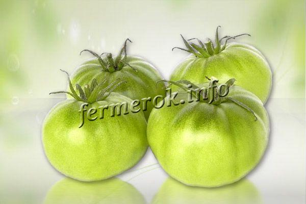 Зеленые помидоры убирают с участка, если на улице становится холодно