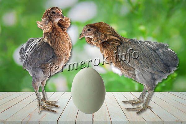 Фото молодняка серых Араукана с яйцом