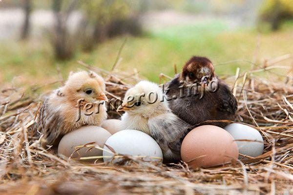 Главная сложность разведения породы Араукана в том, чтобы получить оплодотворенные яйца