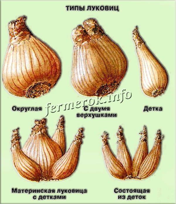 Некоторые сорта нарциссов могут за год образовывать 2-4 новые луковички