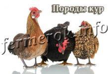 Породы кур (147 фото)