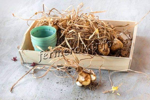 После того как листва полностью пожелтеет, это будет сигналом, что луковица впитала в себя питательные вещества с цветка