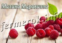 Сорт малины Маравилла