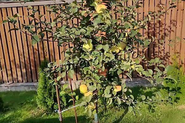 Дерево вступает в плодоношение на 3-4 год после посадки