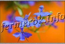 Когда сажать лобелию для раннего цветения