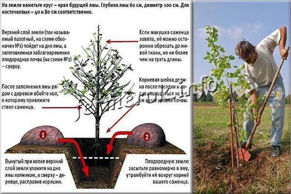 Посадка абрикосы проводится весной, сразу, как сойдет снег или в конце сентября