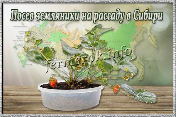 Посев земляники на рассаду в Сибири