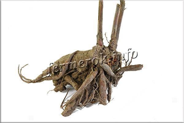 После выкапывания корень нужно обмыть, оставить в тени на 3-6 часов, чтобы он стал более упругим