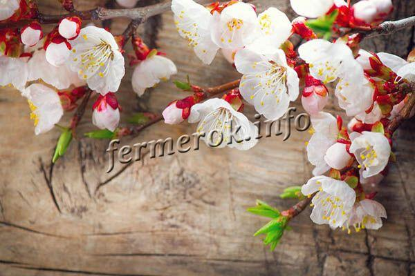 Цветы большие, диаметром до 4 см белого цвета