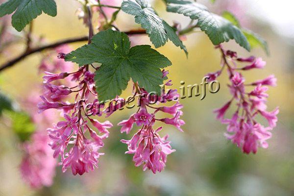 Цветы средние по размеру, похожи на колокольчики с красными чашелистиками