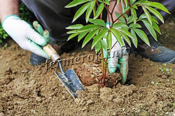Травянистые пионы пересаживают примерно раз в 4-5 лет, древовидные можно растить до 6 лет