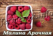 Сорт малины Арочная