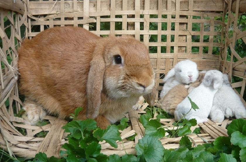 Крольчиха со своими крольчатами