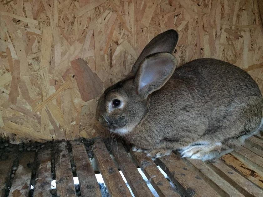 Не беременная крольчиха