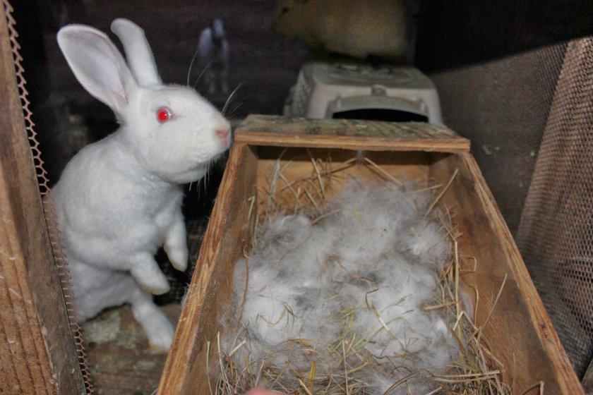 Гнездо крольчихи