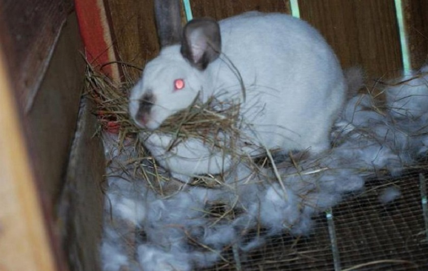 Крольчиха делает гнездо