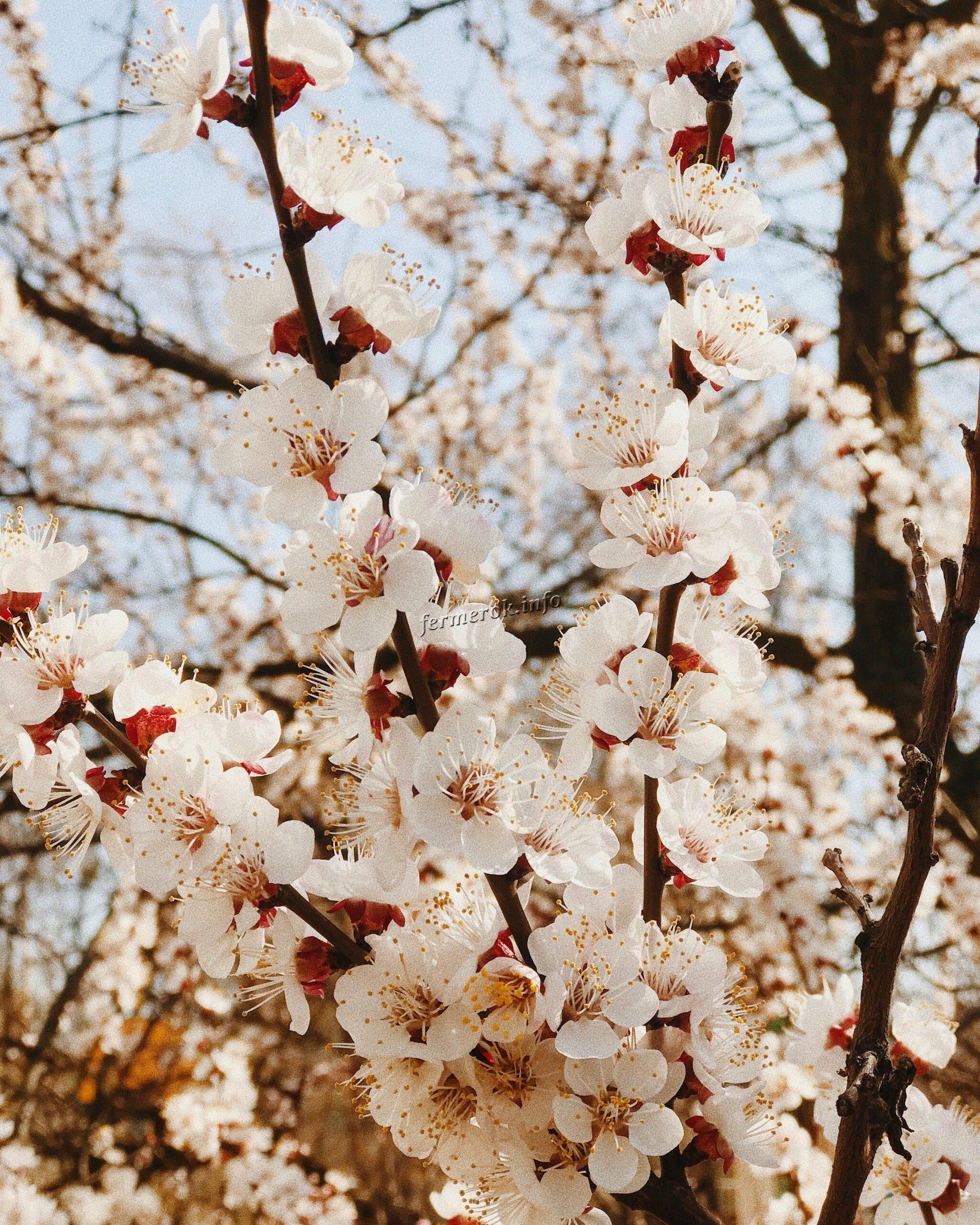 цветение плодовых