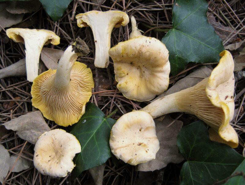 Описание грибов Лисички: как выглядит, на что похожи по цвету, где растут