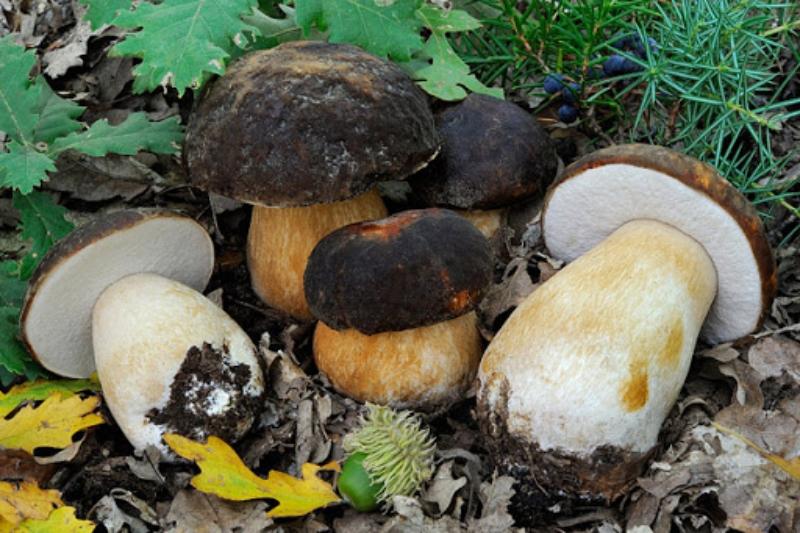Разновидности белых грибов с фото и названиями