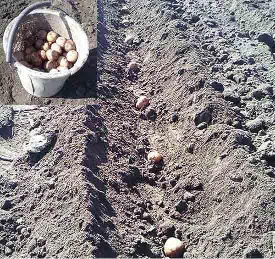 Посадка картофеля в борозду