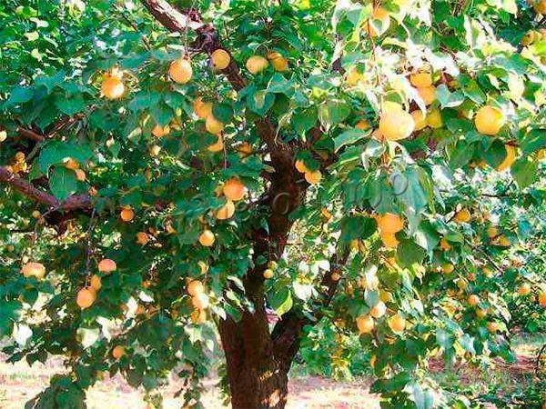 Абрикос Краснощекий растет большим деревом до 4 метров в высоту