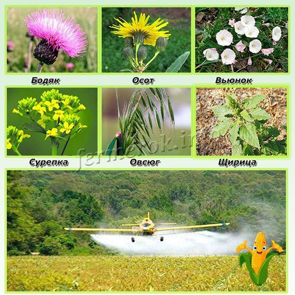 Аграрий, пользующийся гербицидами для кукурузы и других зерновых, должен разбираться в сорняках и их особенностях