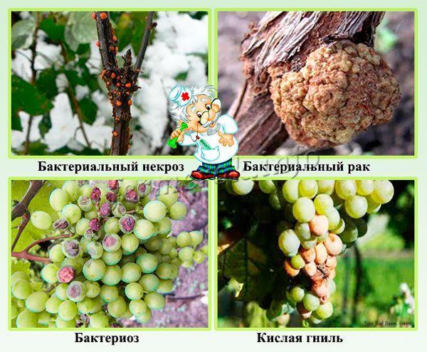 Бактериальные болезни винограда