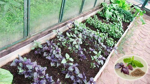 Базилик в теплице можно выращивать круглый год
