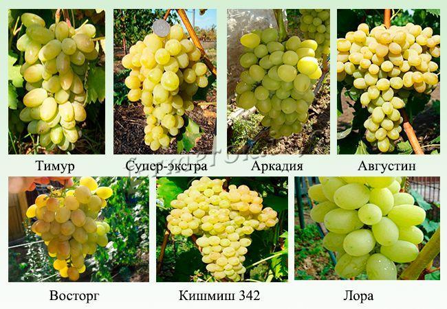 Фото белых и зеленых ранних сортов винограда