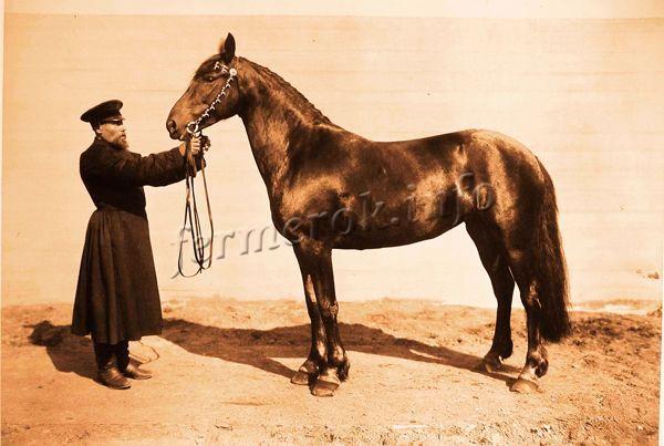 Бурая кобыла «Золотка» (5 л.), выращенная на конном заводе Ю.И. Орлова