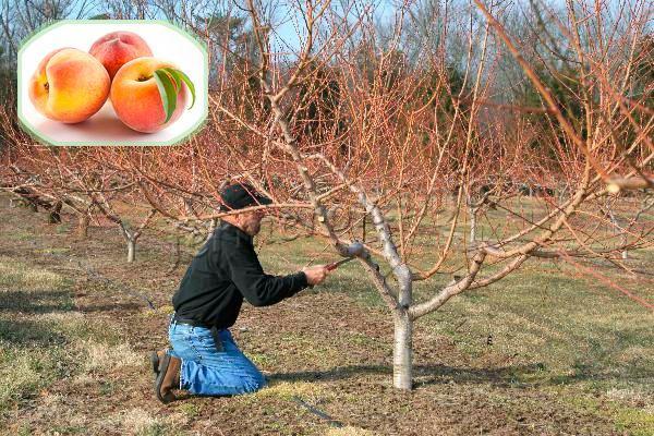 Что следует учитывать при обрезке персика