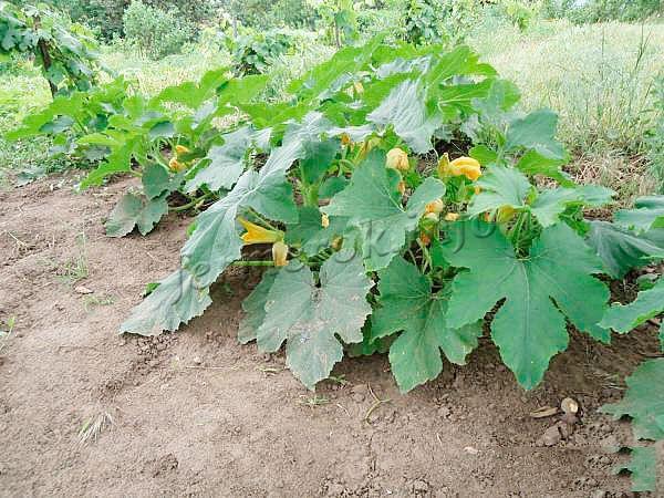 Чтобы растение не заполонило весь участок, его рост нужно контролировать