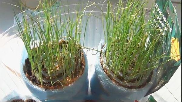 Чтобы вырастить действительно хороший лук-порей, стоит потрудиться сделать рассаду заранее