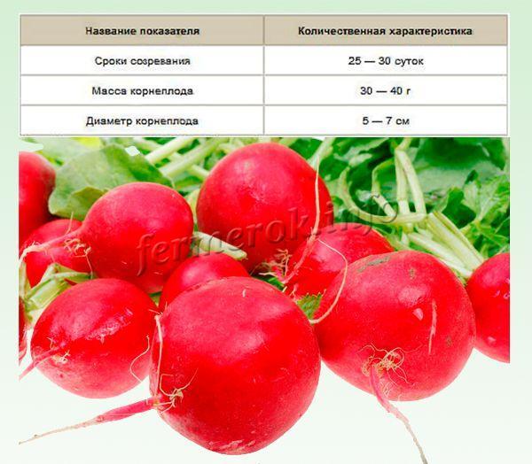 Дает крупные корнеплоды до 10 см в диаметре и массой до 40 г