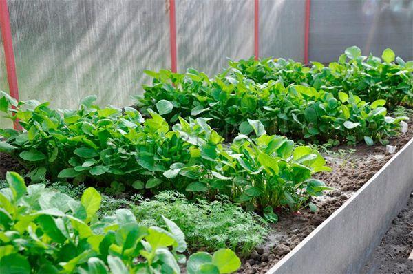Далеко не все сорта редиса могут расти в удушливом микроклимате теплиц
